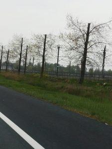 Bomen gehalveerd A16 bij Zevenbergen